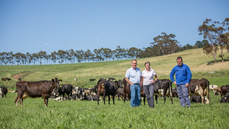 Australian farmers in field with cows