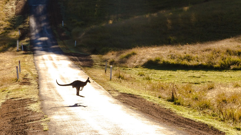 Kangaroo jumping across a road