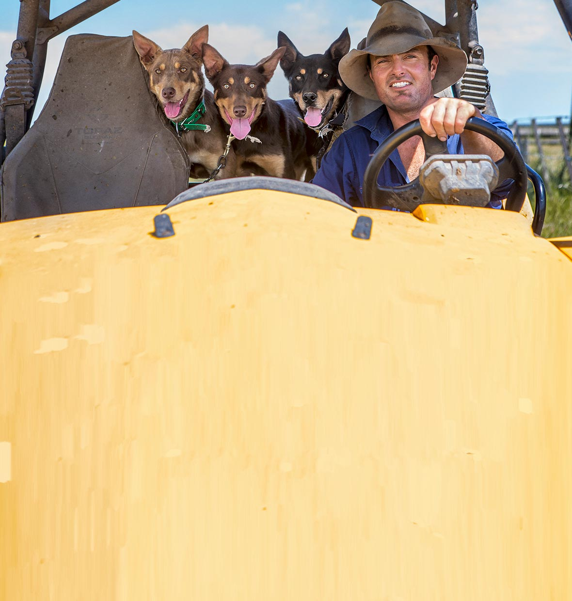 Man with working dogs driving farm vehicle